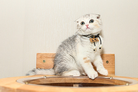 折耳猫图片