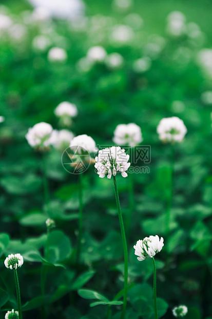 绿色小白花清新背景图片