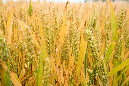 成熟小麦图片