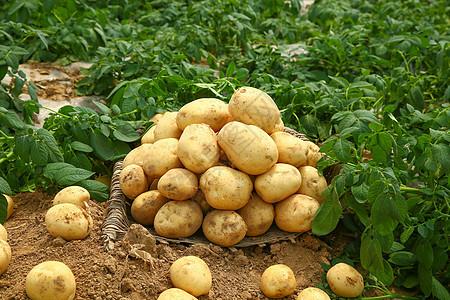 农家土豆收获图片