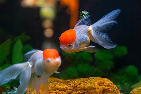 金鱼 图片