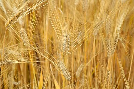 成熟的麦穗图片