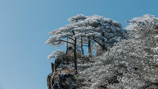 雪后黄山松树图片