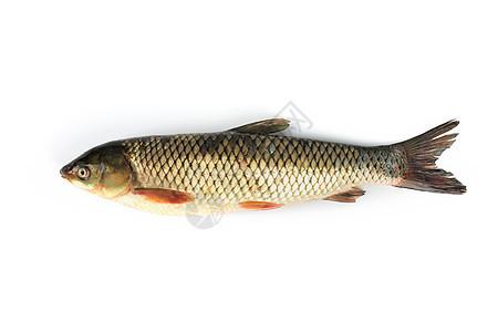 草鱼白底图图片