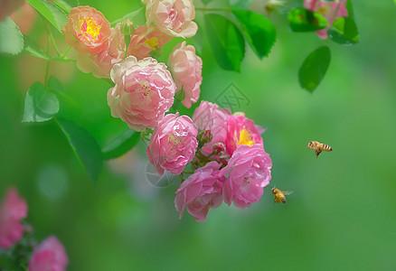 蔷薇花开图片