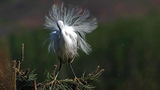 展开蓑羽的白鹭图片