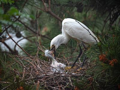 哺育幼鸟的白鹭图片