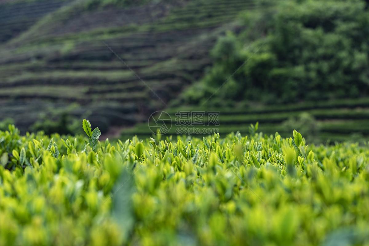 喝白茶有什么功效與作用_白茶知識