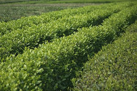 春天的茶园图片