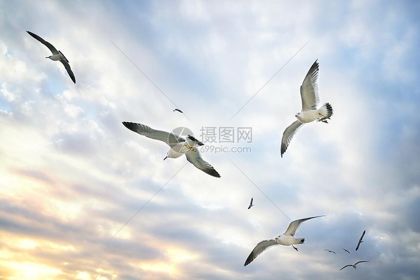 飞翔的海鸥图片