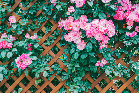 蔷薇花背景图图片