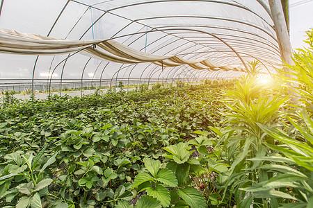 现代化草莓温室种植园图片