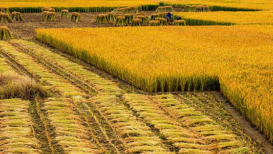 芒种时节金黄稻田图片
