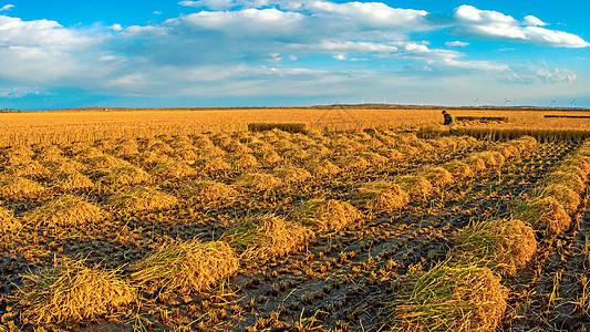 芒种时节稻田收割图片