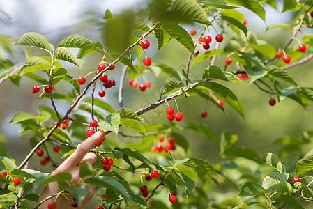 春季水果樱桃特写图片