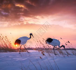 两只丹顶鹤图片