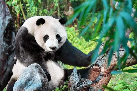 熊猫在爬树图片