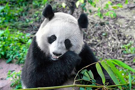 熊猫吃竹子图片