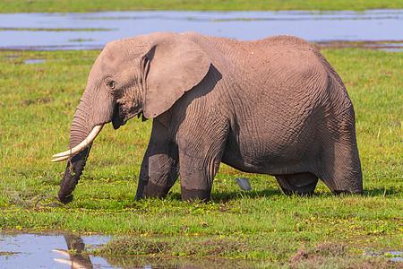 饮水的大象图片