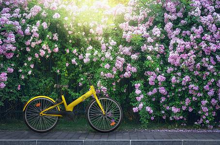 夏至蔷薇树下小黄车图片