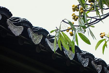青瓦与枇杷树图片