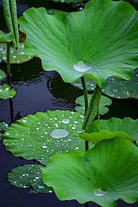 夏至雨荷图片