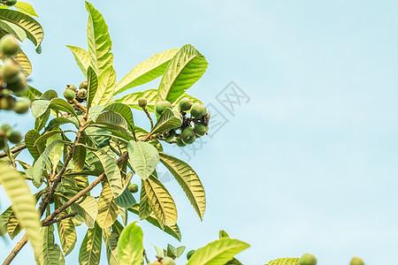 枇杷树上正在生长的青枇杷图片