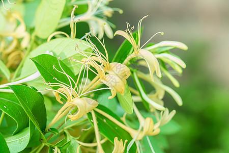 金银花树上生长旺盛的金银花图片