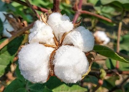 棉花植物图片