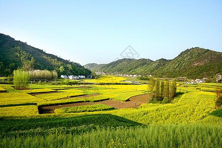 乡村油菜花田图片