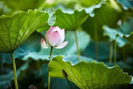 深圳洪湖公园荷花图片