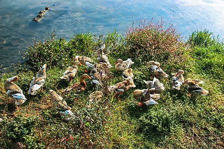 田野里池塘边一群小鸭子图片