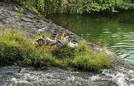池塘边一群小鸭子图片