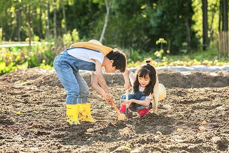小朋友一起挖土豆图片