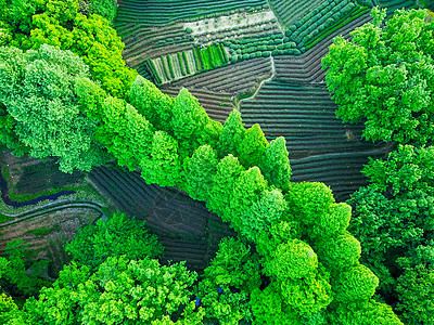 龙井茶茶园图片