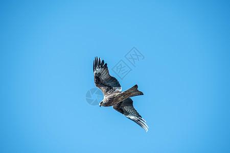 野生动物鹰飞禽鸟类摄影图片