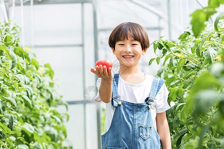 小男孩菜棚摘菜图片