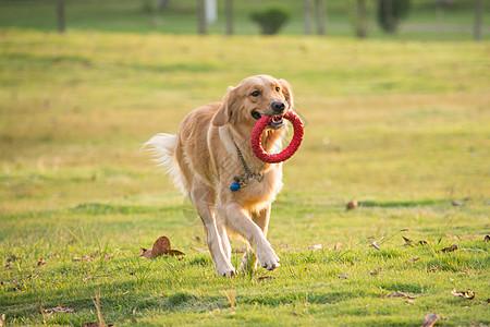 草地上的宠物狗金毛图片