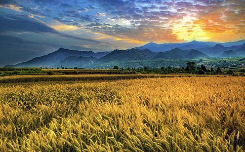 秦岭山下金色的麦田图片