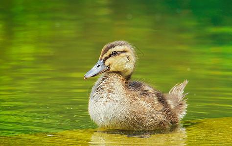 小鸭子图片