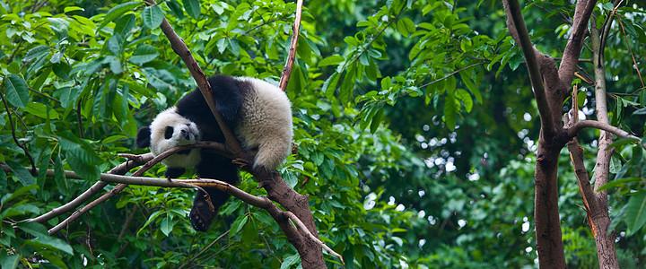 国宝大熊猫图片