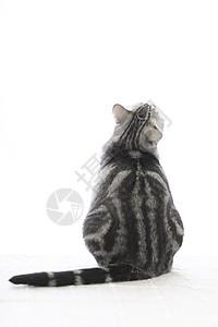 美短猫图片