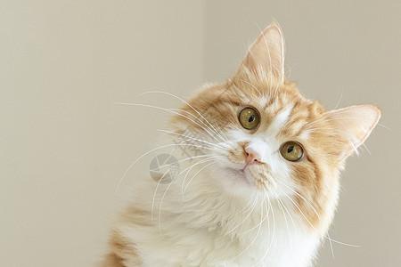 橘cat picture