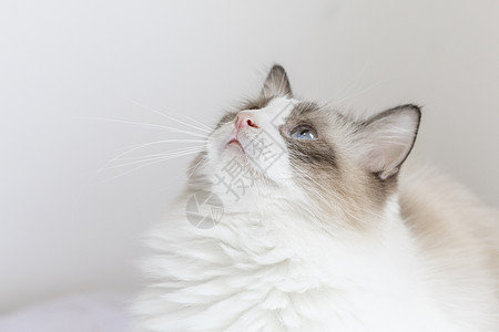 布偶猫图片