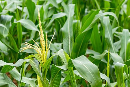 玉米幼苗抽穗图片