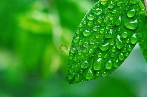 树叶上的水滴图片