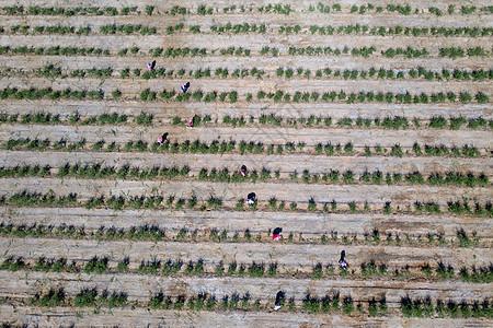 枸杞子种植基地图片