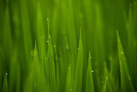 农田水稻露水图片
