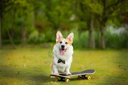 可爱萌宠柯基玩滑板图片