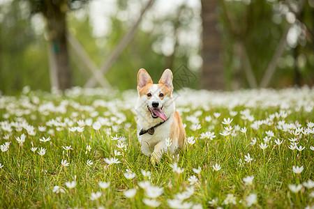 在花丛中玩耍的宠物柯基图片